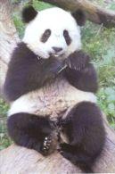 PANDA   Postcard Unused   ( Z 88 ) - Otros