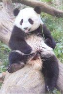 PANDA   Postcard Unused   ( Z 89 ) - Otros