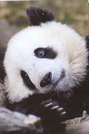 PANDA   Postcard Unused   ( Z 93 ) - Otros