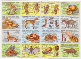 Squelettes Chien Chat Lapin Otarie Taupe Chauve Souris Format 24x33 Cm état Superbe 1957 - Animaux