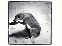 DOGS / HUNDE / CHIENS /  -    Postcard XXL Unused   ( P 1340 ) - Chiens