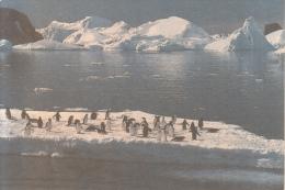 Fauna - Pinguin - Penguin - Pingouins & Manchots