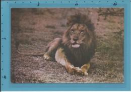 Leão - Lion - Fauna De Angola - Ed. Jomar - 2 SCANS - Lions