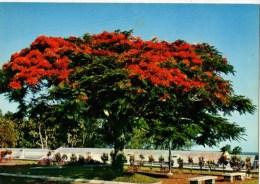 C P M-----ANTILLES ---FLEURS DES ANTILLES CARIBBEAN FLOWERS--flamboyant--voir 2 Scans - Antilles