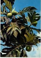 C P M-----ANTILLES TOURISTIQUES-----FRUITS A PAIN- -----voir 2 Scans - Antilles