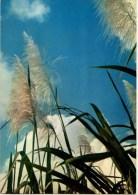C P M-----ANTILLES TOURISTIQUES-----FLECHES DE CANNE A SUCRE -----voir 2 Scans - Antilles
