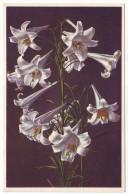 GARDEN LILY - LIS A FLEURS  LONGUES - LANGBLÜTIGE LILIE (Unused Postcard, 1940's) - Bloemen, Planten & Bomen
