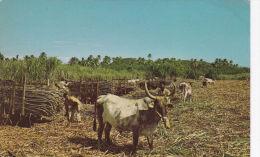 FIJI - CUTTING SUGAR CANE - Fiji