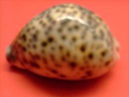 CARACOLA MARINA - Conchas Y Caracoles