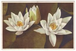 WHITE WATER-LILY - NENUPHAR BLANC - WEISSE SEEROSE (Unused Postcard, 1940's) - Bloemen, Planten & Bomen