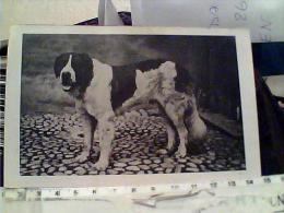 CANE DOG  S SAN BERNARDO N1930  EL7270 - Hunde