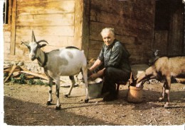 Les Lindarets (Montriond-Haute-Savoie)-1970-Chèvre-Chevrier- L'heure De La Traite-Oblitération De Morzine Avec Flamme - Morzine