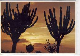 GUAJIRA - Atardecer, Sonnenuntergang, Sunset, Kaktus Cactaceae Kakteen - Venezuela