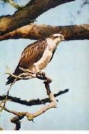 BIRDS - J ARTHUR DIXON PWL/98698 - OSPREY PERCHING - Pájaros