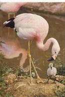 BIRDS - J ARTHUR DIXON - L6/SP 4907 - ANDEAN FLAMINGO  (42) - Birds