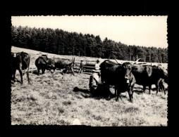 15 - L'AUVERGNE - Vaches Au Parc - La Traite - France