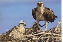 BIRDS - J ARTHUR DIXON KBP/25596 - OSPREY  (127) - Pájaros