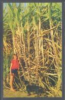 Brisbane. Queensland. *Sugar Cane At Its Best Just Before Firing* Ed. Murray Views Nº 211. Nueva. - Brisbane