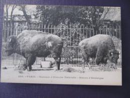 2109 Bison D'Amérique Zoo Parc Zoologique Paris Bisão Bizon Bisonte - Stieren