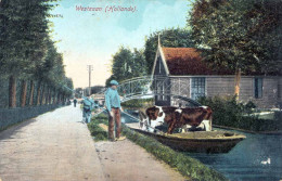 WESTZAAN (Holland) - Kuhtransport Auf Boot, 1910? - Zaanstreek