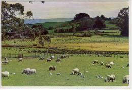 NEW ZEALAND, WAIKATO - Ewes And Lambs , Sheep - New Zealand