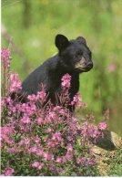 Ours Noir Américain - Carte USA - Bears