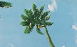 Climbing The Coconut Tree.  American Samoa   S-1079 - American Samoa