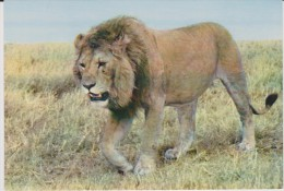Animaux :  Lion - Lions