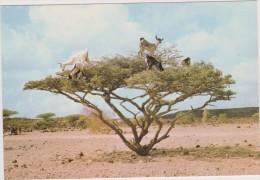 DJIBOUTI,afrique De L´est,au Bord De La Mer Rouge,prés De La Somalie,arbre à Chevre - Gibuti