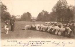 KOEKELBERG (1081) : les moutons dans le Parc Elisabeth. Petite animation. CPA Pr�curseurs rare.