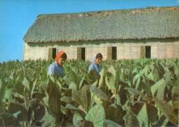 Lote PEP815, Cuba, Postal, Postcard, Vega De Tabaco, Tobacco Field, Woman - Postales