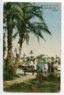 Tunisie : Récolte De Dattes - La Recolta Dei Datteri N°773 - Tunisie