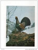 Coq De Bruyère. - Oiseaux