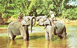 Elephants At Play In The Mahaweli Ganga Near Kandy - Sri Lanka (Ceylon)