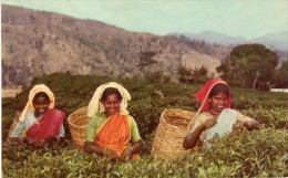 Tea Pluckers Up-country - Sri Lanka (Ceylon)