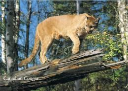 Lion De Montagne Cougar Pumas, Canada - Lions