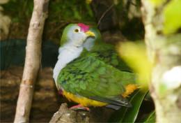 Carte Postale, Oiseaux, Dove Encyclopedia, Beautiful Fruit Dove, Ptilinopus Pulchellus - Pájaros