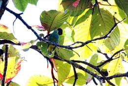 Carte Postale, Oiseaux, Dove Encyclopedia, Blue-capped Fruit Dove, Ptilinopus Monacha - Pájaros