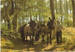 Attelage De Mulets Dans Les Landes - Burros