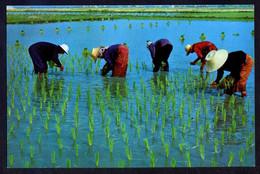 *Cultivation Of The Rice...* Nueva. - Tailandia