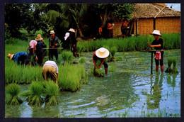 *Cultivation Of The Rice...* Escrita. - Tailandia