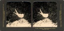 Steglitz,Buis Zwaluw,  Flussrohrschwalbe, Texel - Stereoscoop