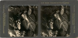 Steglitz,Waterkruikplant, Wasserkrugpflanze - Stereoscoop