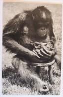 Comité National De L'Enfance – Zoo De Vincennes – Femelle Chimpanzé Et Son Petit (orang-outan) - Singes