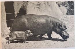 Comité National De L'Enfance – Zoo De Vincennes – Hippopotame Et Son Petit - Monkeys