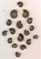 Ammonites Pyriteuses Dont 2 Creniceras  Hte Saône  état Brut  N°1 - Fossiles