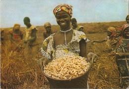 GQ - La c�te occidentale d'Afrique - Fernando Po - R�colte des cacahu�tes - Laboratoires La Biomarine -Photo Michel Huet