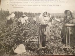 CPA Ile D'Oléron Types Du Pays Récolte Des Artichauts.. Collection Dupuy N°941 - Ile D'Oléron