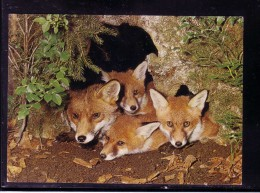 AK Motiv Tiere:    -   FÜCHSE    -  Karte Nicht Gel - Tierwelt & Fauna
