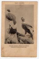 Bird Condor La Plata Natural History Museum Tarjeta Postal Argentina  Ca1900 Postcard  W4-319 - Pájaros